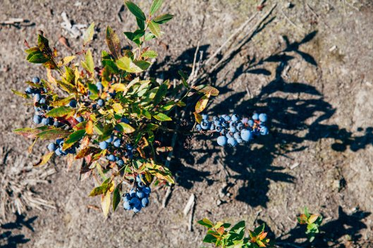 Wild blueberry bush Wilde Blaubeeren Strauch